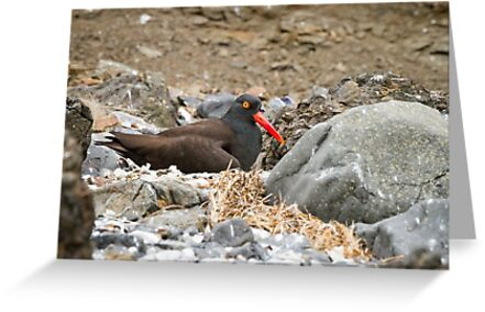Nest of Rocks -- Black Oystercatcher by Tom Talbott