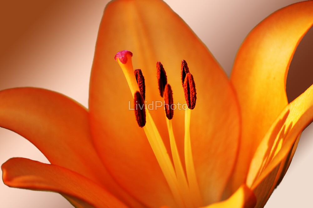 Hot Tiger Lilly by LividPhoto