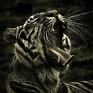 Bengal yawn  by larry flewers