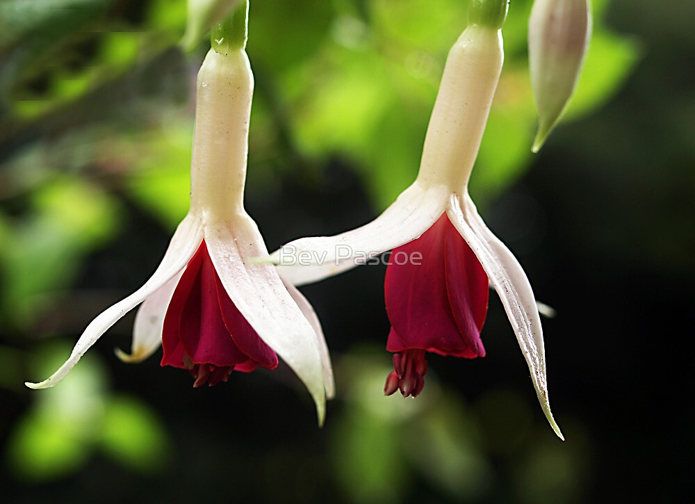 Fuchsia - White on Red by Bev Pascoe