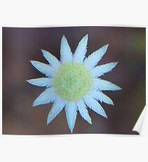 Little Flannel Flower Poster