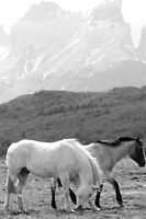 Chilean horses pasturing with Torres Del Paine mountainscape in the background (Black and White)2  by bethischeery