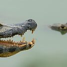 Caimans by Yves Roumazeilles