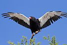 Bateleur stretches its wings by Will Hore-Lacy