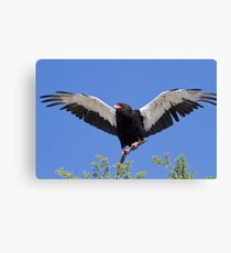 Bateleur stretches its wings Canvas Print