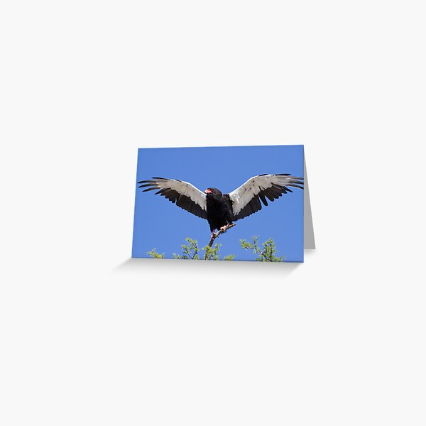 Bateleur stretches its wings Greeting Card