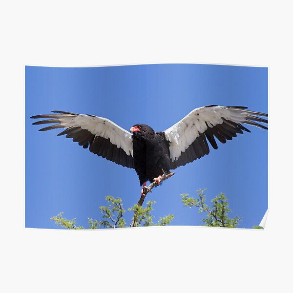 Bateleur stretches its wings Poster