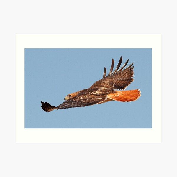 112611 Red Tailed Hawk Art Print