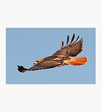 112611 Red Tailed Hawk Photographic Print