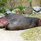 Lazy Hippos by dgscotland