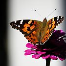 Painted Lady on Flower by shutterbug2010