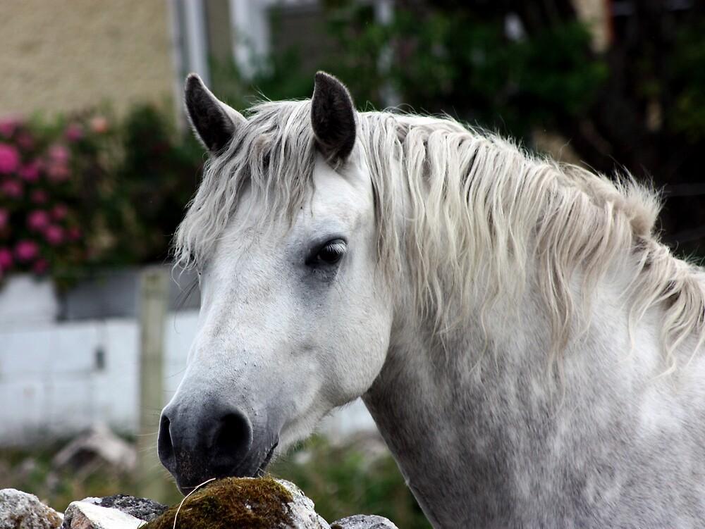 Quot Grey Connemara Pony Quot By Connemarapony Redbubble