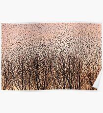 Murmuration of Starlings at Gretna Poster