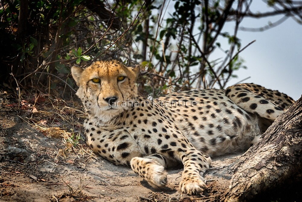 Alert Cheetah by Graham Prentice