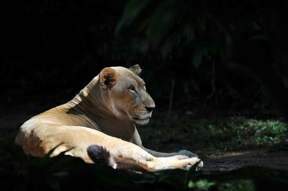 Lion at The Singapore Zoo. by Ralph de Zilva