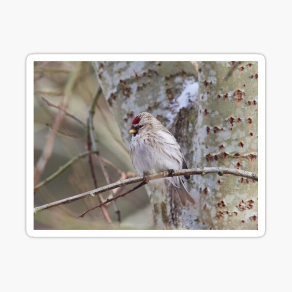 The Blond. The common redpoll Sticker