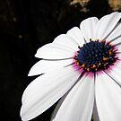 Dainty daisy by Akrotiri