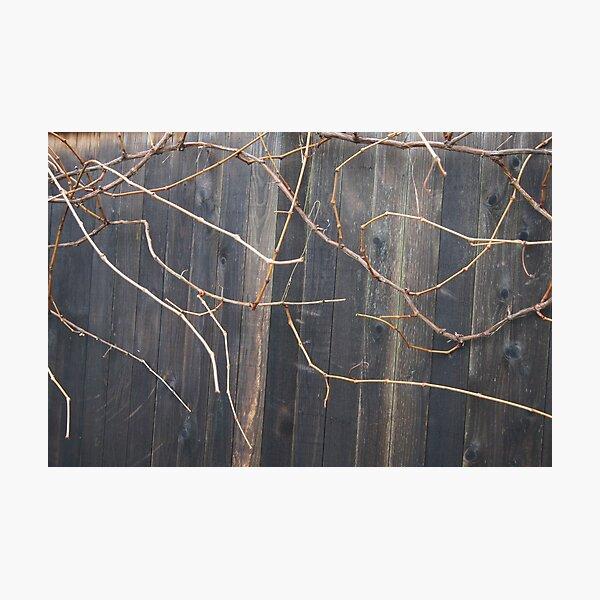 Naked Grape Vines Photographic Print