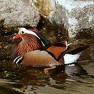 Mandarin Drake by Anthony Vella