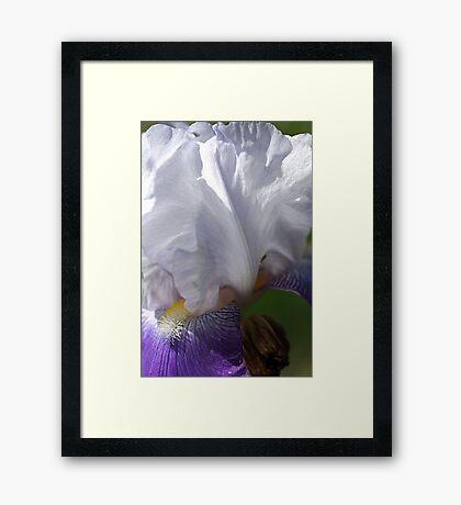 Iris - Full Bloom Framed Print