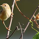 ''Golden-headed Cisticola'' by bowenite