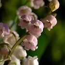 Lily of the Valley - Rosea & White by Bev Pascoe