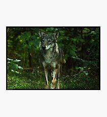Italian Wolf Photographic Print