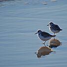 Piping Plovers in Salvo by Robin Black
