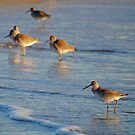 Willets by Robin Black