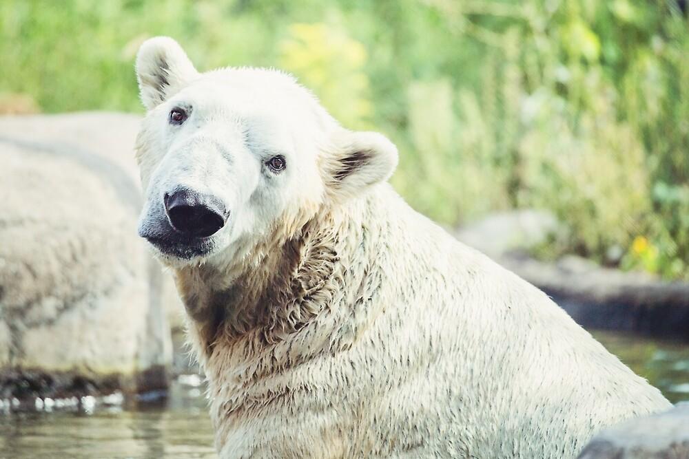 Polar Bear Animal Photography by Sarah Van Geest