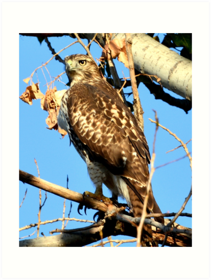Red Tailed Hawk in Tree by Amy McDaniel