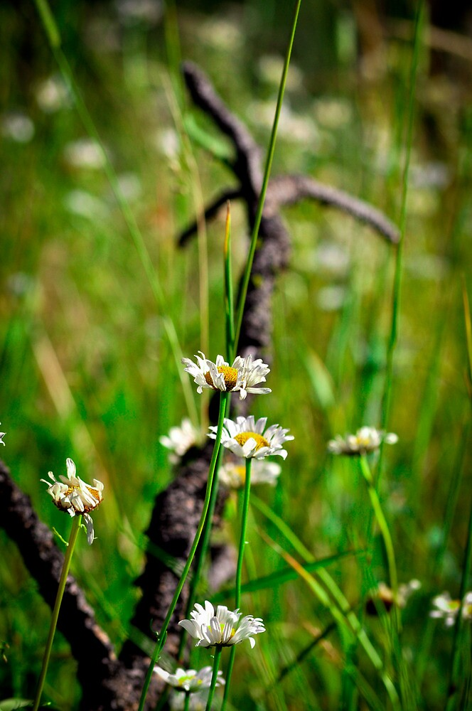 Meadow Daisies by Chad M