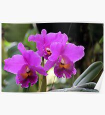 Cattleya Pumpernickel Orchid Poster