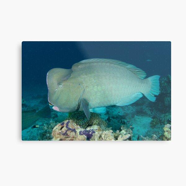 Bumphead parrotfish - Bolbometopon muricatum Metal Print