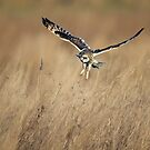 Short-eared Owl (Asio flammeus) Hovering by Richard Nicoll
