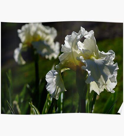 Bearded Iris - White Lightening Poster
