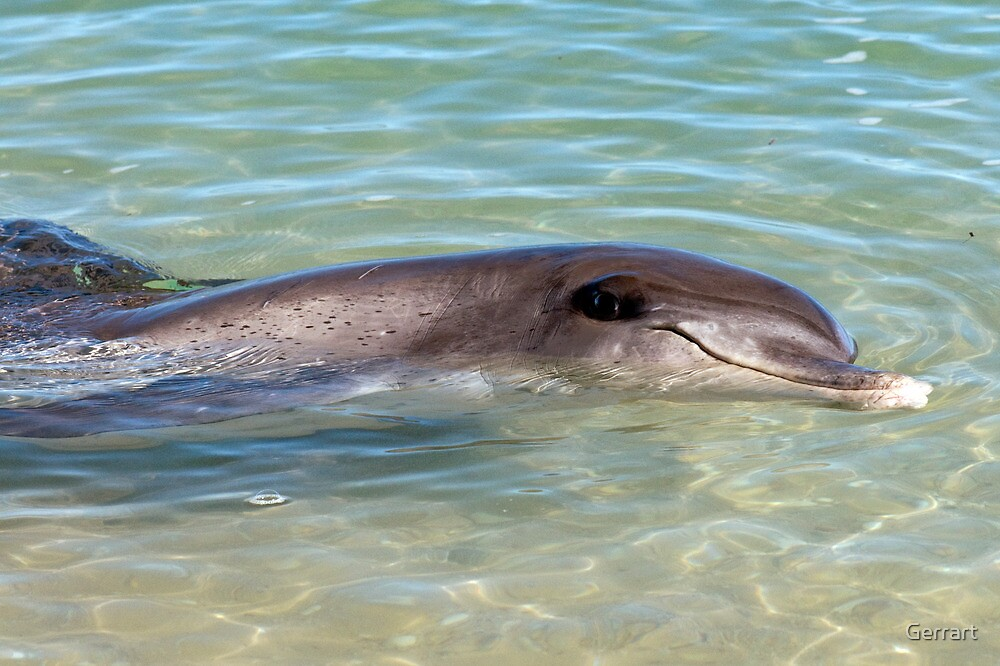 Monkey Mia Bottlenose Dolphin by Gerrart