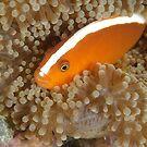 Orange anemonefish - Amphiprion sandaracinos by Andrew Trevor-Jones