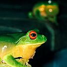 They mostly come at night... mostly... (Litoria Chloris) by Neil Ross