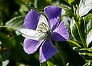 Large White on Periwinkle by AnnDixon