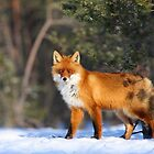Winter fox by Remo Savisaar