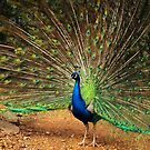 Peacock Displaying by Bev Pascoe