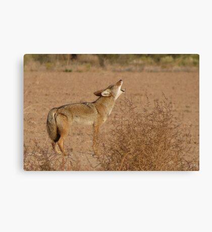 Coyote Serenade  Canvas Print