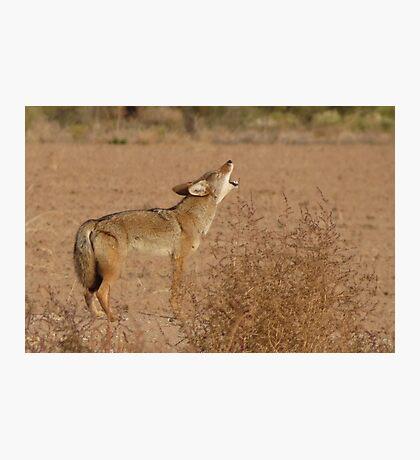 Coyote Serenade  Photographic Print