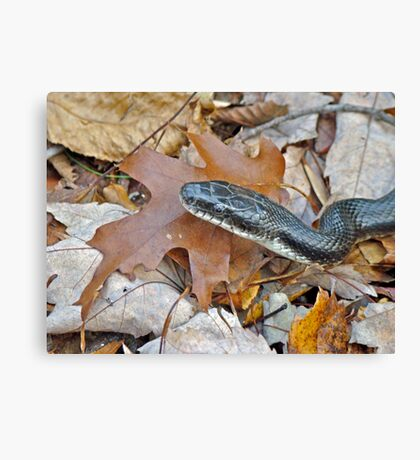 Black Rat Snake - Elaphe obsoleta obsoleta Canvas Print