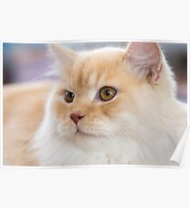 Relaxed orange-white cat Poster