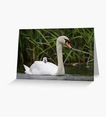 Mute Swan with cygnet Greeting Card