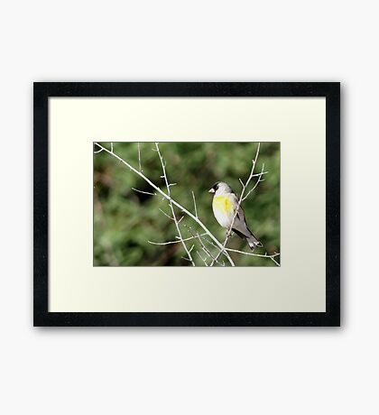 Lawrence's Goldfinch ~ Male Framed Print