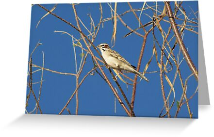 Lark Sparrow ~ Adult by Kimberly Chadwick