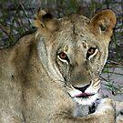Lioness in botswana by Anthony Goldman